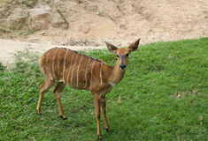 Deer in Thailand zoo. Animal, deer, brown, female food grey nature planet relax stare z Stock Photography