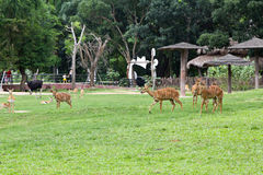 Deer in Thailand zoo. Animal, deer, brown, female food grey nature planet relax stare zoom zoo Stock Images
