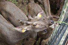 Deer in Thailand zoo. Thailand zoo, wildlife outdoor nature green, nature deer antler animal brown color, deer relax spot Stock Photography