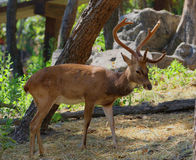 Deer in Thailand zoo, wildlife protection, animal and nature. Stock Photos
