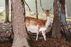 Deer in their natural environment Stock Images