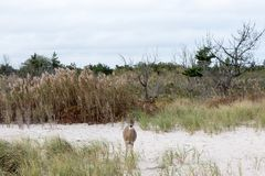 Deer-in-the-thickets-on-the-Atlantic-coast Royalty Free Stock Photos