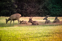 Deer in thr forest. Many deer in thr forest Stock Photography