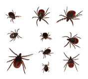 Deer Tick, black-legged. Multiple poses of male and female deer ticks  on white background Royalty Free Stock Images