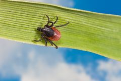 Deer tick crawling on grass blade. Ixodes ricinus. Dangerous parasite detail on green striped leaf. Natural blue sky background. Encephalitis, Lyme borreliosis royalty free stock image