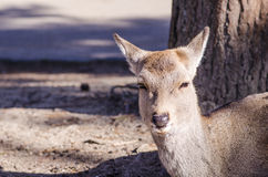 Deer at Todaiji temple, nara, japan Royalty Free Stock Photography