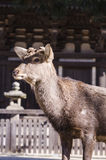 Deer at Todaiji temple, nara, japan Stock Image