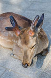 Deer in Todaiji temple Stock Images