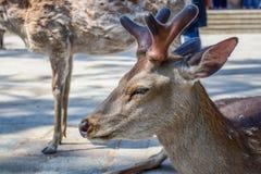 Deer in Todaiji temple in Nara Stock Photos