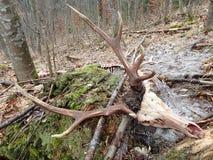 Deer torn wolves,. Deerskin torn wolves stock photography