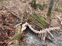 Deer torn wolves,. Deerskin torn wolves stock photo