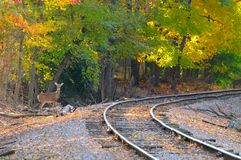 Deer on track. An alert deer stands by an old railroad track Royalty Free Stock Image