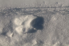 Deer track in the snow Stock Image
