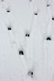 Deer tracks. In fresh snow Royalty Free Stock Photo