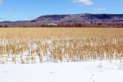Deer tracks in winter cornfield Royalty Free Stock Photography