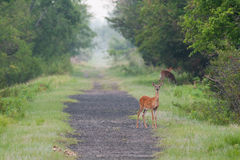 Deer on a Trail in Early Morning. Three deer looking for food by the Fort Kearney trail before dawn Stock Photos