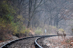 Deer on Train Tracks Royalty Free Stock Images