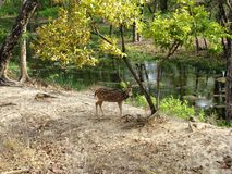 Deer and a Tree Royalty Free Stock Images