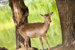 Deer between trees Royalty Free Stock Photography
