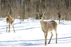 Deer trio Stock Photos