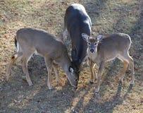 Deer trio Royalty Free Stock Image