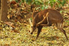 Deer in the tropical forest. Deer is scratching the neck in the tropical forest Thailand Stock Photography