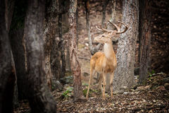 deer in the tropical forests royalty free stock photos