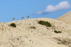 Deer Trotting along the edge of a Sand Dunes Stock Photos
