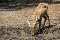 Deer in dry land global warming. Deer try to drink water in dry land caused by global warming Stock Photography