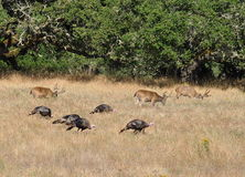 Deer and Turkeys Royalty Free Stock Photography
