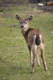 Deer turning around and staring at me. A Deer turning around and staring at me in our yard Royalty Free Stock Images