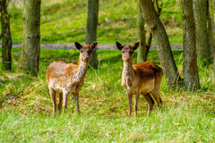 Deer twins Stock Images