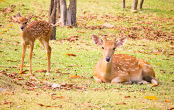 Deer. Two deer is beautiful in park Stock Images