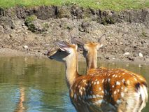Deer. Two deers at zoo park Royalty Free Stock Image