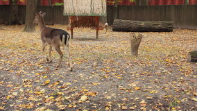 Deer And Two Fawns. Sika deer and two fawns go away near feeders in autumn Zoo stock footage