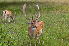 Deer. Two Sika male deer eating grass in the wild Stock Photography