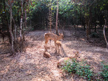 Deer in Ubonratchatani zoo Thailand Royalty Free Stock Photo
