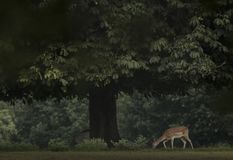 Deer Under A Tree Stock Photo