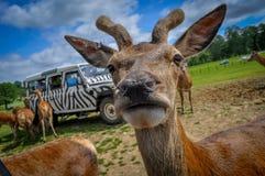 Deer up close. A deer up close on safari Royalty Free Stock Photos