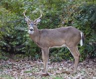 Deer In Suburban areas. A Male Deer Posing for a photo in my back yard in suburban,NJ. The Deer population has increase in the last decades and became a problem royalty free stock images