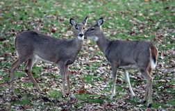 Deer In Suburban areas. Two deer on the lawn showing affection in my back yard in suburban,NJ. The Deer population has increase in the last decades and became a royalty free stock image