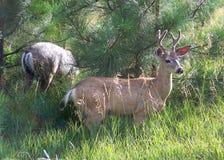 Deer Valley优胜美地 免版税库存图片