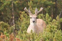 Deer with Velvet Antlers. A buck Mule Deer watches from the Lodgepole Pine forest with new, velvet-coated antlers royalty free stock image