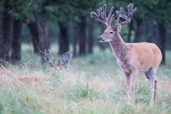 Deer in velvet standing in the rain Stock Photography