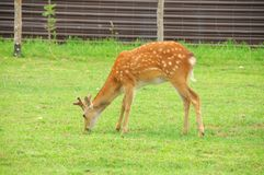 Deer Royalty Free Stock Images