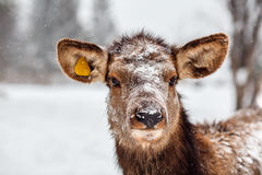 A deer from Visim strict natural reserve in Russia. Royalty Free Stock Image