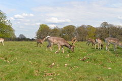 Deer w Richmond parku Obrazy Stock