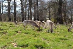 Deer w Richmond parku zdjęcia royalty free