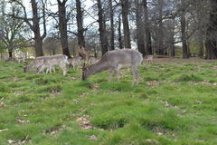 Deer w Richmond parku Obraz Stock