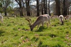 Deer w Richmond parku obrazy royalty free